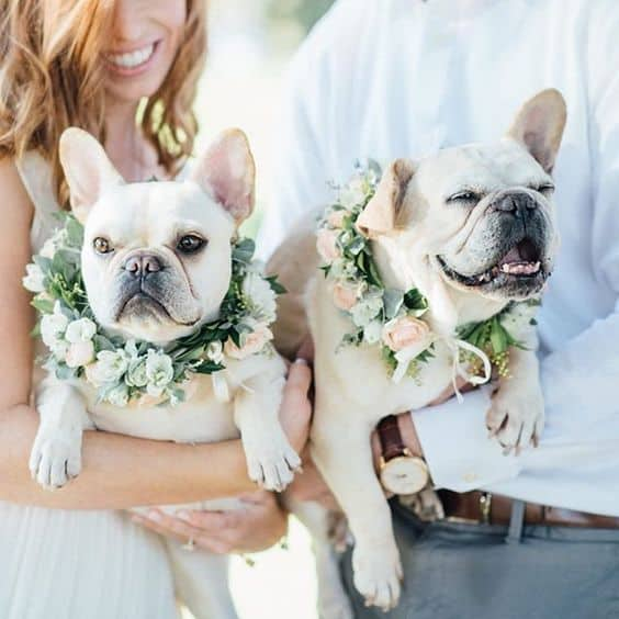 Yoga Frenchie Wedding Puppies Cutest Wedding Pup Compass Floral